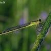Elegantiškoji strėliukė - Ischnura elegans | Fotografijos autorius : Vytautas Uselis | © Macrogamta.lt | Šis tinklapis priklauso bendruomenei kuri domisi makro fotografija ir fotografuoja gyvąjį makro pasaulį.