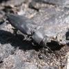 Melanophila acuminata - Išdaginis blizgiavabalis | Fotografijos autorius : Vytautas Uselis | © Macrogamta.lt | Šis tinklapis priklauso bendruomenei kuri domisi makro fotografija ir fotografuoja gyvąjį makro pasaulį.