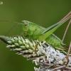 Dvispalvis spragtukas - Metrioptera bicolor | Fotografijos autorius : Armandas Kazlauskas | © Macrogamta.lt | Šis tinklapis priklauso bendruomenei kuri domisi makro fotografija ir fotografuoja gyvąjį makro pasaulį.