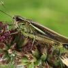 Viksvinis skėrys - Stethophyma grossum   Fotografijos autorius : Armandas Kazlauskas   © Macrogamta.lt   Šis tinklapis priklauso bendruomenei kuri domisi makro fotografija ir fotografuoja gyvąjį makro pasaulį.