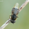 Plokščiamusė - Stratiomyidae | Fotografijos autorius : Aivaras Markauskas | © Macrogamta.lt | Šis tinklapis priklauso bendruomenei kuri domisi makro fotografija ir fotografuoja gyvąjį makro pasaulį.
