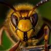 Širšuolas - Vespa crabro | Fotografijos autorius : Oskaras Venckus | © Macrogamta.lt | Šis tinklapis priklauso bendruomenei kuri domisi makro fotografija ir fotografuoja gyvąjį makro pasaulį.