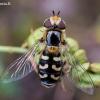 Žiedmusė - Scaeva pyrastri | Fotografijos autorius : Oskaras Venckus | © Macrogamta.lt | Šis tinklapis priklauso bendruomenei kuri domisi makro fotografija ir fotografuoja gyvąjį makro pasaulį.