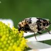 Kailiavabalis - Anthrenus pimpinellae | Fotografijos autorius : Oskaras Venckus | © Macrogamta.lt | Šis tinklapis priklauso bendruomenei kuri domisi makro fotografija ir fotografuoja gyvąjį makro pasaulį.