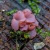 Askokorina - Ascocoryne sp. | Fotografijos autorius : Oskaras Venckus | © Macrogamta.lt | Šis tinklapis priklauso bendruomenei kuri domisi makro fotografija ir fotografuoja gyvąjį makro pasaulį.