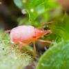 Erkutė - Bdellidae | Fotografijos autorius : Oskaras Venckus | © Macrogamta.lt | Šis tinklapis priklauso bendruomenei kuri domisi makro fotografija ir fotografuoja gyvąjį makro pasaulį.
