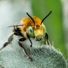Bitė - Anthophora sp.   Fotografijos autorius : Oskaras Venckus   © Macrogamta.lt   Šis tinklapis priklauso bendruomenei kuri domisi makro fotografija ir fotografuoja gyvąjį makro pasaulį.