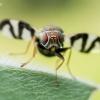 Daginė margasparnė - Urophora cardui  | Fotografijos autorius : Oskaras Venckus | © Macrogamta.lt | Šis tinklapis priklauso bendruomenei kuri domisi makro fotografija ir fotografuoja gyvąjį makro pasaulį.