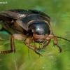 Geltonkraštė dusia - Dytiscus marginalis | Fotografijos autorius : Oskaras Venckus | © Macrogamta.lt | Šis tinklapis priklauso bendruomenei kuri domisi makro fotografija ir fotografuoja gyvąjį makro pasaulį.