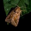 Bulvinis pelėdgalvis - Hydraecia micacea  | Fotografijos autorius : Oskaras Venckus | © Macrogamta.lt | Šis tinklapis priklauso bendruomenei kuri domisi makro fotografija ir fotografuoja gyvąjį makro pasaulį.