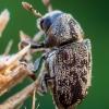 Margasis karnagraužis - Hylesinus varius  | Fotografijos autorius : Oskaras Venckus | © Macrogamta.lt | Šis tinklapis priklauso bendruomenei kuri domisi makro fotografija ir fotografuoja gyvąjį makro pasaulį.