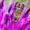 Margasparnė - Terellia sp. | Fotografijos autorius : Oskaras Venckus | © Macrogamta.lt | Šis tinklapis priklauso bendruomenei kuri domisi makro fotografija ir fotografuoja gyvąjį makro pasaulį.