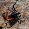 Miškinė erkė - Ixodes ricinus | Fotografijos autorius : Oskaras Venckus | © Macrogamta.lt | Šis tinklapis priklauso bendruomenei kuri domisi makro fotografija ir fotografuoja gyvąjį makro pasaulį.