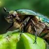 Paprastasis auksavabalis - Cetonia aurata | Fotografijos autorius : Oskaras Venckus | © Macrogamta.lt | Šis tinklapis priklauso bendruomenei kuri domisi makro fotografija ir fotografuoja gyvąjį makro pasaulį.