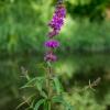 Paprastoji raudoklė - Lythrum salicaria | Fotografijos autorius : Oskaras Venckus | © Macrogamta.lt | Šis tinklapis priklauso bendruomenei kuri domisi makro fotografija ir fotografuoja gyvąjį makro pasaulį.