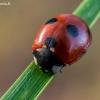 Penkiataškė boružė - Coccinella quinquepunctata  | Fotografijos autorius : Oskaras Venckus | © Macrogamta.lt | Šis tinklapis priklauso bendruomenei kuri domisi makro fotografija ir fotografuoja gyvąjį makro pasaulį.