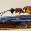 Vytis - Gelis sp. | Fotografijos autorius : Oskaras Venckus | © Macrogamta.lt | Šis tinklapis priklauso bendruomenei kuri domisi makro fotografija ir fotografuoja gyvąjį makro pasaulį.