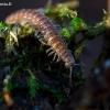Dviporiakojis šimtakojis - Polydesmus angustus  | Fotografijos autorius : Oskaras Venckus | © Macrogamta.lt | Šis tinklapis priklauso bendruomenei kuri domisi makro fotografija ir fotografuoja gyvąjį makro pasaulį.