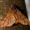 Rudeninis kuoduotis - Ptilophora plumigera | Fotografijos autorius : Oskaras Venckus | © Macrogamta.lt | Šis tinklapis priklauso bendruomenei kuri domisi makro fotografija ir fotografuoja gyvąjį makro pasaulį.