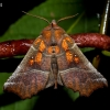Gluosninis žieminukas - Scoliopteryx libatrix | Fotografijos autorius : Oskaras Venckus | © Macrogamta.lt | Šis tinklapis priklauso bendruomenei kuri domisi makro fotografija ir fotografuoja gyvąjį makro pasaulį.