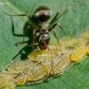 Juodoji medžių skruzdėlė - Lasius fuliginosus ir amarai - Panaphis juglandis | Fotografijos autorius : Oskaras Venckus | © Macrogamta.lt | Šis tinklapis priklauso bendruomenei kuri domisi makro fotografija ir fotografuoja gyvąjį makro pasaulį.