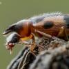 Vienaragis mitriavabalis - Notoxus monoceros  | Fotografijos autorius : Oskaras Venckus | © Macrogamta.lt | Šis tinklapis priklauso bendruomenei kuri domisi makro fotografija ir fotografuoja gyvąjį makro pasaulį.