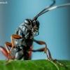 Vytis - Anisobas platystylus  | Fotografijos autorius : Oskaras Venckus | © Macrogamta.lt | Šis tinklapis priklauso bendruomenei kuri domisi makro fotografija ir fotografuoja gyvąjį makro pasaulį.