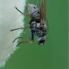Tikramusė - Coenosia tigrina | Fotografijos autorius : Aleksandras Riabčikovas | © Macrogamta.lt | Šis tinklapis priklauso bendruomenei kuri domisi makro fotografija ir fotografuoja gyvąjį makro pasaulį.