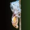 Putinė cikada - Aphrophora sp. ?, metamorfozė | Fotografijos autorius : Žilvinas Pūtys | © Macrogamta.lt | Šis tinklapis priklauso bendruomenei kuri domisi makro fotografija ir fotografuoja gyvąjį makro pasaulį.