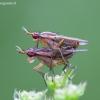 Sraigžudė - Limnia unguicornis ? | Fotografijos autorius : Žilvinas Pūtys | © Macrogamta.lt | Šis tinklapis priklauso bendruomenei kuri domisi makro fotografija ir fotografuoja gyvąjį makro pasaulį.