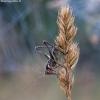 Paprastasis spragtukas - Metrioptera roeselii ♂, nimfa | Fotografijos autorius : Žilvinas Pūtys | © Macrogamta.lt | Šis tinklapis priklauso bendruomenei kuri domisi makro fotografija ir fotografuoja gyvąjį makro pasaulį.
