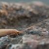 Plonaūsė apsiuva - Oecetis ochracea | Fotografijos autorius : Žilvinas Pūtys | © Macrogamta.lt | Šis tinklapis priklauso bendruomenei kuri domisi makro fotografija ir fotografuoja gyvąjį makro pasaulį.