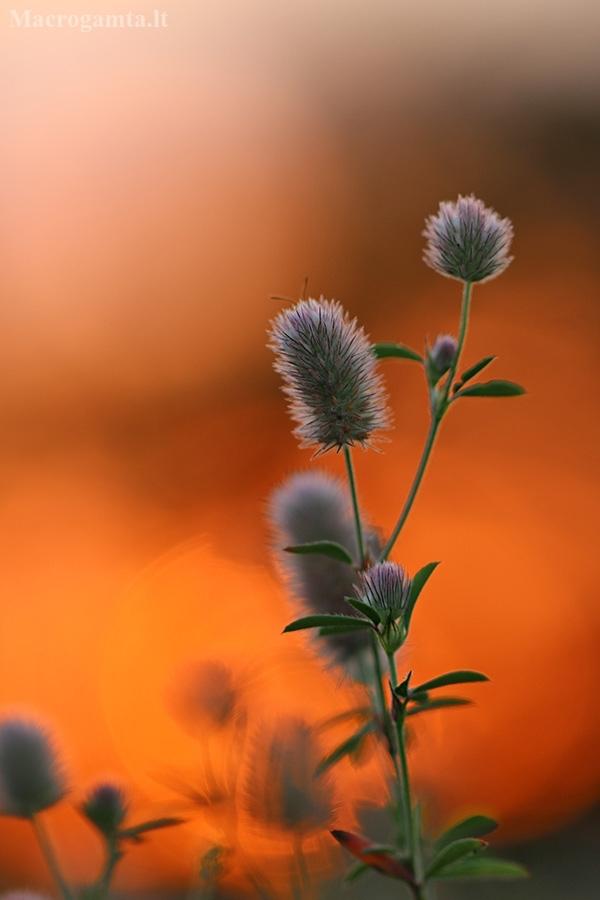 Dirvinis dobilas – Trifolium arvense   Fotografijos autorius : Agnė Našlėnienė   © Macrogamta.lt   Šis tinklapis priklauso bendruomenei kuri domisi makro fotografija ir fotografuoja gyvąjį makro pasaulį.