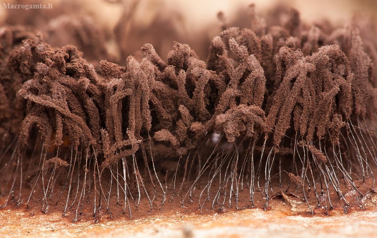 Šerpis - Stemonitis sp. | Fotografijos autorius : Žilvinas Pūtys | © Macrogamta.lt | Šis tinklapis priklauso bendruomenei kuri domisi makro fotografija ir fotografuoja gyvąjį makro pasaulį.