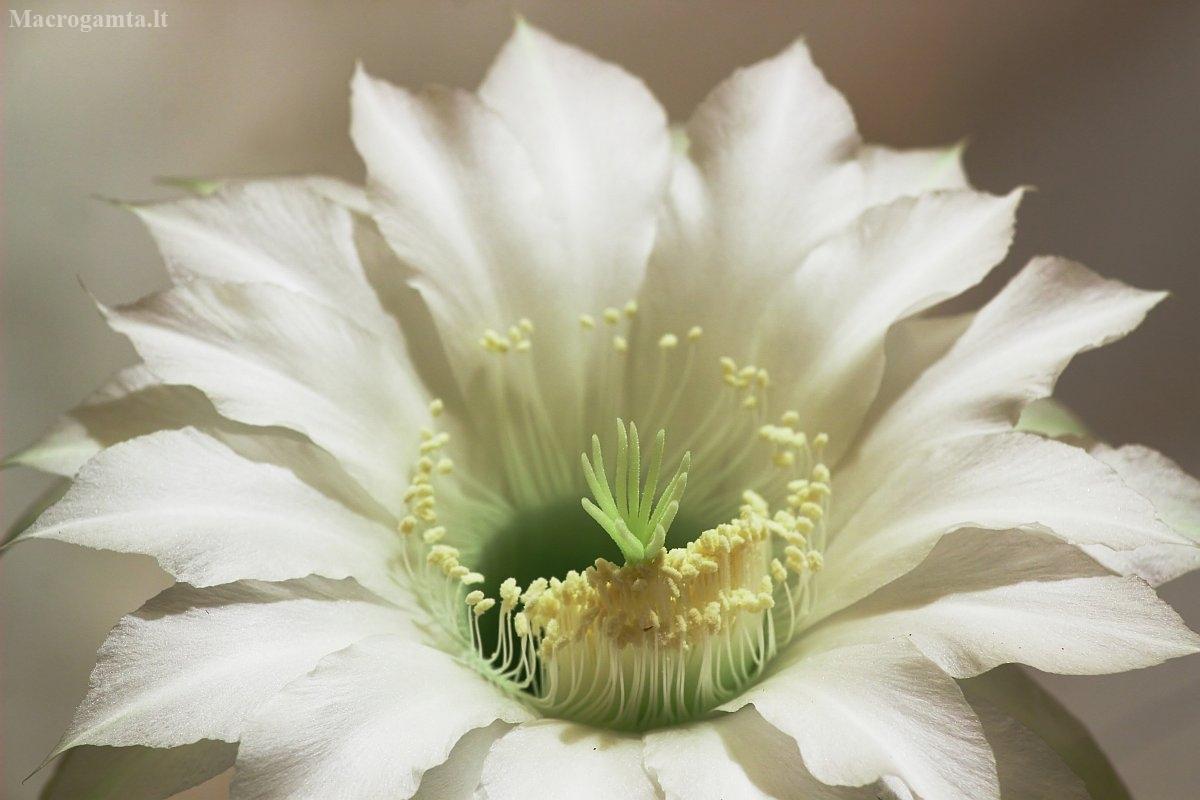 Kaktusas | Fotografijos autorius : Vidas Brazauskas | © Macrogamta.lt | Šis tinklapis priklauso bendruomenei kuri domisi makro fotografija ir fotografuoja gyvąjį makro pasaulį.