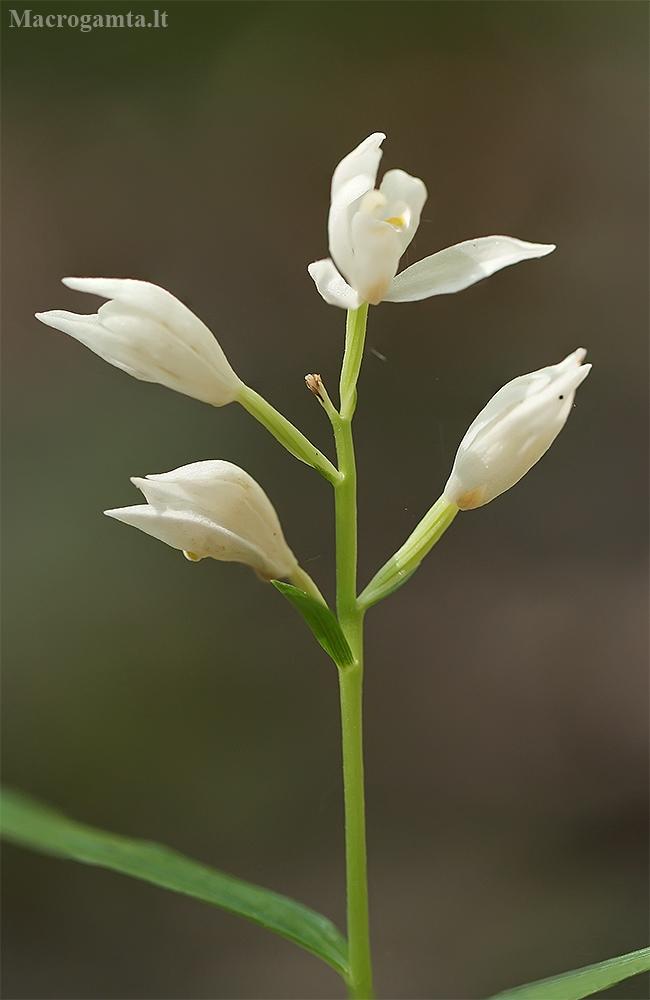 Kardalapis garbenis - Cephalanthera longifolia | Fotografijos autorius : Gintautas Steiblys | © Macrogamta.lt | Šis tinklapis priklauso bendruomenei kuri domisi makro fotografija ir fotografuoja gyvąjį makro pasaulį.