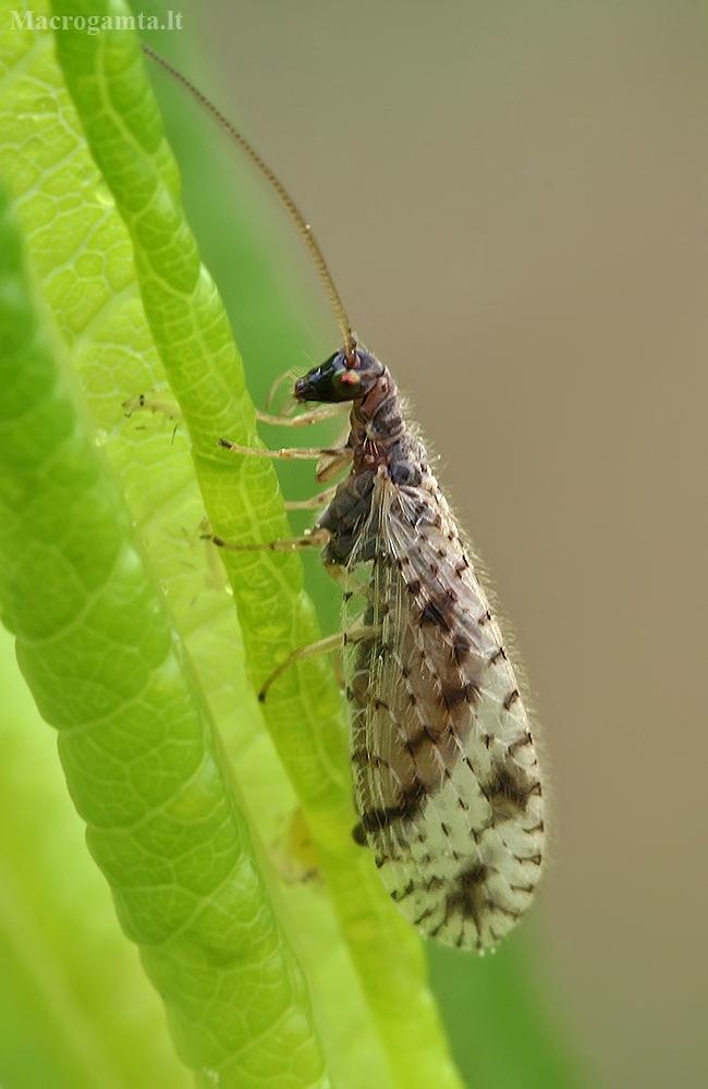 Lapasparnis - Micromus variegatus | Fotografijos autorius : Gintautas Steiblys | © Macrogamta.lt | Šis tinklapis priklauso bendruomenei kuri domisi makro fotografija ir fotografuoja gyvąjį makro pasaulį.