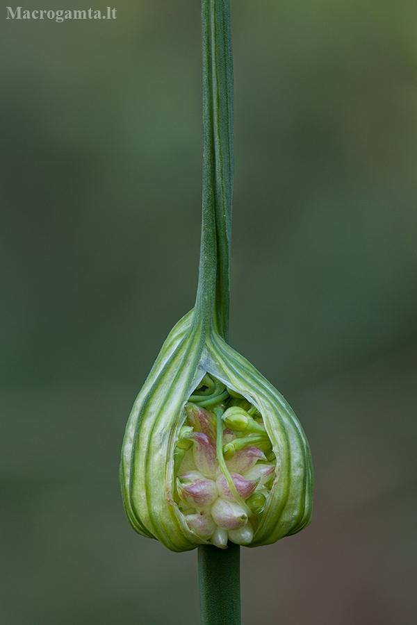 Laukinis česnakas - Allium oleraceum | Fotografijos autorius : Žilvinas Pūtys | © Macrogamta.lt | Šis tinklapis priklauso bendruomenei kuri domisi makro fotografija ir fotografuoja gyvąjį makro pasaulį.