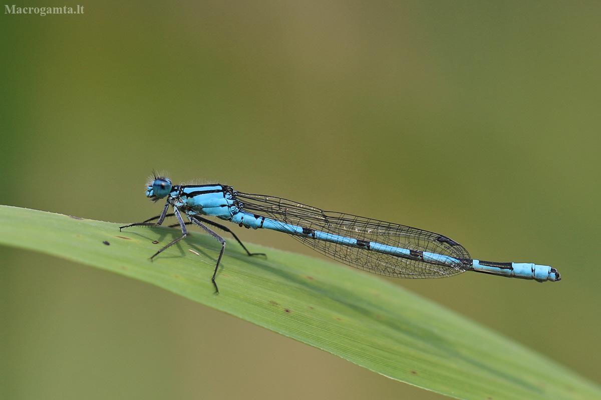 Mėlynoji strėliukė - Enallagma cyathigerum | Fotografijos autorius : Agnė Našlėnienė | © Macrogamta.lt | Šis tinklapis priklauso bendruomenei kuri domisi makro fotografija ir fotografuoja gyvąjį makro pasaulį.