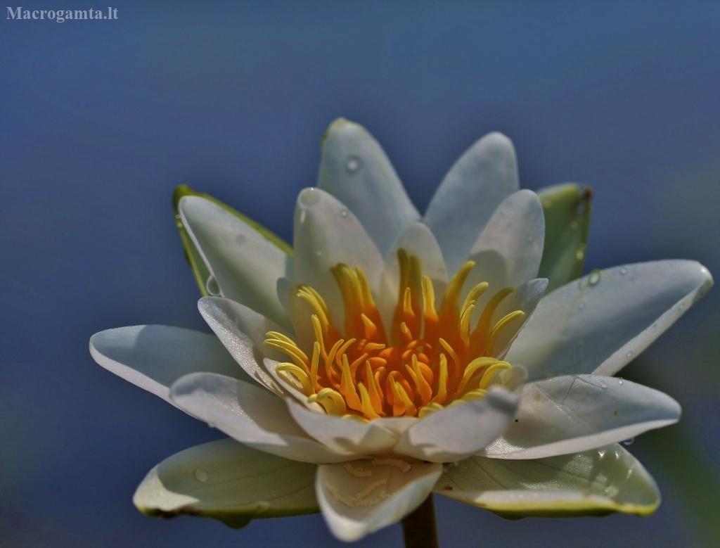 Mažažiedė vandens lelija - Nymphaea candida | Fotografijos autorius : Kęstutis Obelevičius | © Macrogamta.lt | Šis tinklapis priklauso bendruomenei kuri domisi makro fotografija ir fotografuoja gyvąjį makro pasaulį.
