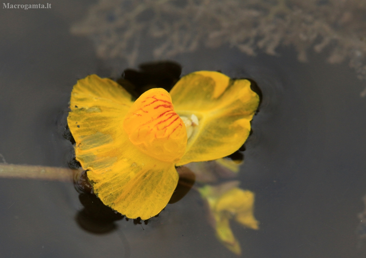 Paprastasis skendenis - Utricularia vulgaris | Fotografijos autorius : Ramunė Vakarė | © Macrogamta.lt | Šis tinklapis priklauso bendruomenei kuri domisi makro fotografija ir fotografuoja gyvąjį makro pasaulį.