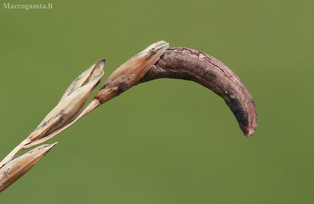 Paprastoji skalsė - Claviceps purpurea | Fotografijos autorius : Gintautas Steiblys | © Macrogamta.lt | Šis tinklapis priklauso bendruomenei kuri domisi makro fotografija ir fotografuoja gyvąjį makro pasaulį.