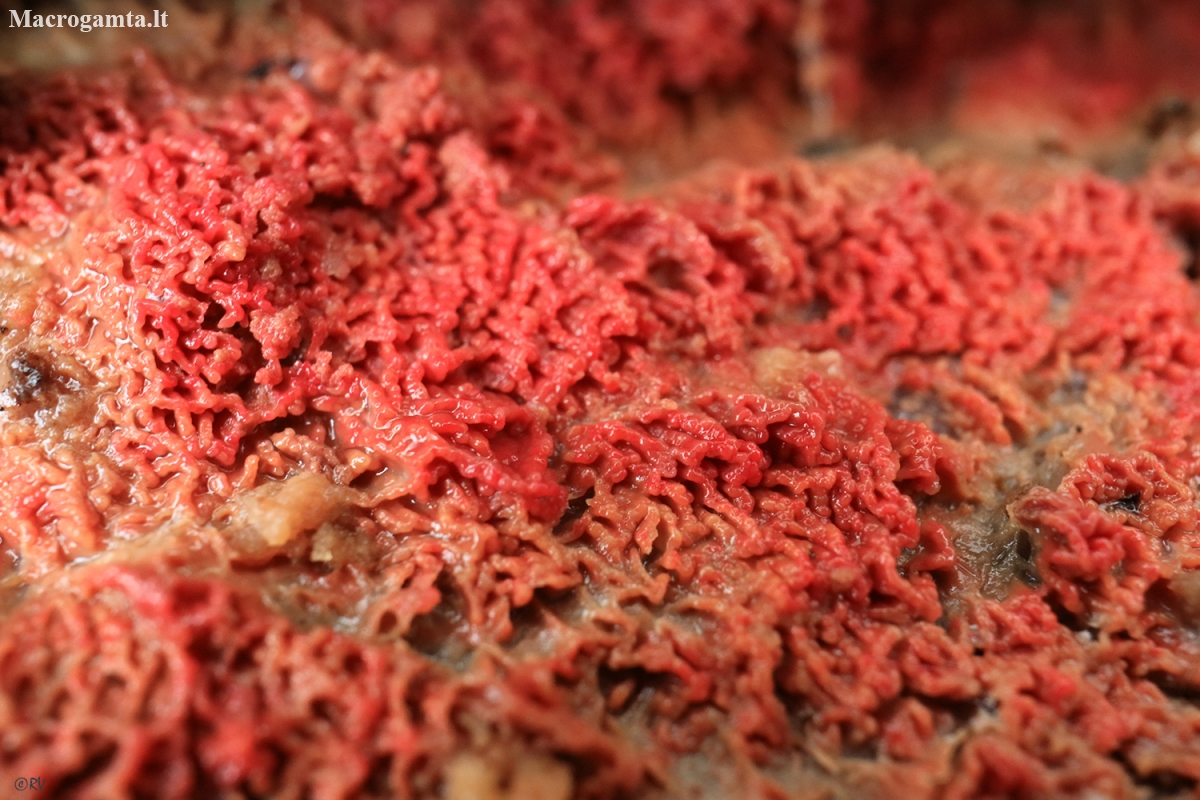 Phlebia coccineofulva | Fotografijos autorius : Ramunė Vakarė | © Macrogamta.lt | Šis tinklapis priklauso bendruomenei kuri domisi makro fotografija ir fotografuoja gyvąjį makro pasaulį.
