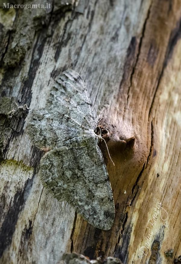 Pilkasis žievėsprindis | Pale Oak Beauty | Hypomecis punctinalis | Fotografijos autorius : Darius Baužys | © Macrogamta.lt | Šis tinklapis priklauso bendruomenei kuri domisi makro fotografija ir fotografuoja gyvąjį makro pasaulį.