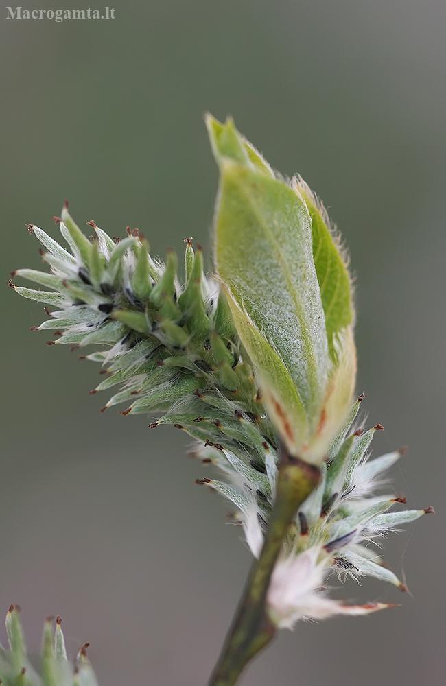 Pilkasis karklas - Salix cinerea | Fotografijos autorius : Gintautas Steiblys | © Macrogamta.lt | Šis tinklapis priklauso bendruomenei kuri domisi makro fotografija ir fotografuoja gyvąjį makro pasaulį.