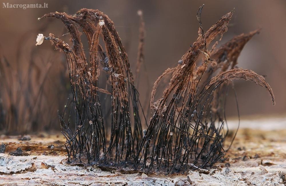 Rudasis šerpis - Stemonitis fusca | Fotografijos autorius : Gintautas Steiblys | © Macrogamta.lt | Šis tinklapis priklauso bendruomenei kuri domisi makro fotografija ir fotografuoja gyvąjį makro pasaulį.