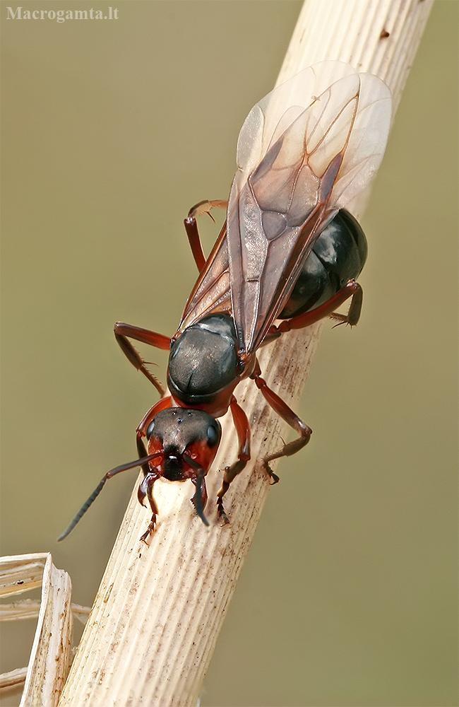 Rudoji miško skruzdėlė - Formica rufa   Fotografijos autorius : Gintautas Steiblys   © Macrogamta.lt   Šis tinklapis priklauso bendruomenei kuri domisi makro fotografija ir fotografuoja gyvąjį makro pasaulį.