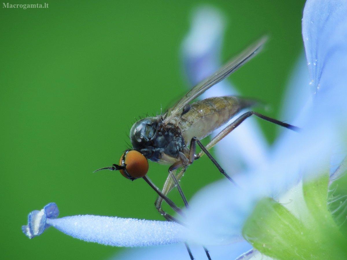 Snapmusė - Empididae | Fotografijos autorius : Vidas Brazauskas | © Macrogamta.lt | Šis tinklapis priklauso bendruomenei kuri domisi makro fotografija ir fotografuoja gyvąjį makro pasaulį.