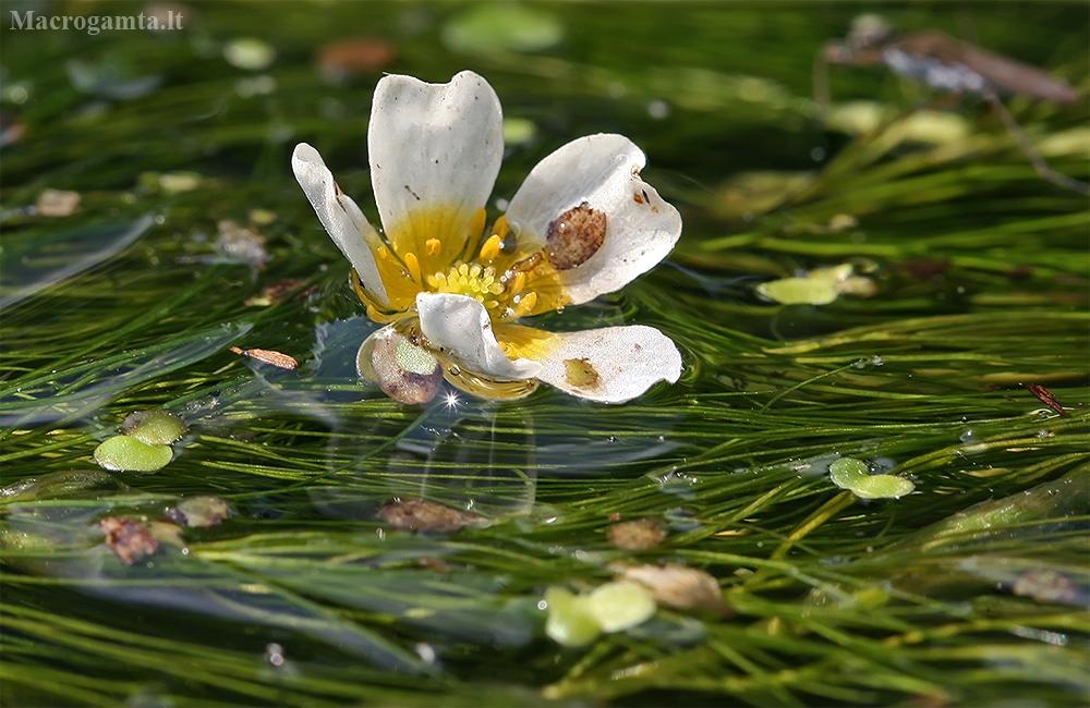Standžialapė kurklė - Batrachium circinatum   Fotografijos autorius : Gintautas Steiblys   © Macrogamta.lt   Šis tinklapis priklauso bendruomenei kuri domisi makro fotografija ir fotografuoja gyvąjį makro pasaulį.
