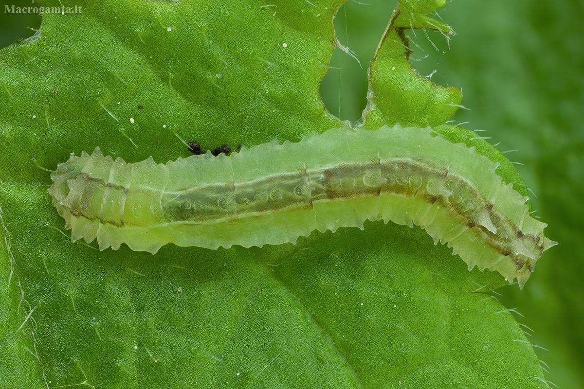 Uodas - Cylindrotoma distinctissima, lerva | Fotografijos autorius : Žilvinas Pūtys | © Macrogamta.lt | Šis tinklapis priklauso bendruomenei kuri domisi makro fotografija ir fotografuoja gyvąjį makro pasaulį.